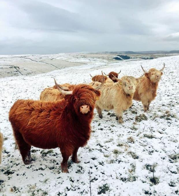 Тези крави изглеждат така сякаш ще пуснат най-добрия инди рок албум на годината.