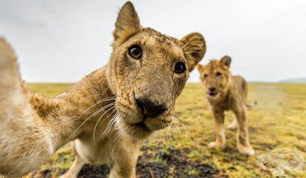 Селфи с лъвчета