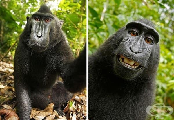 Тази маймуна откраднала фотоапарата на фотографа Дейвид Слейтър и се снимала сама