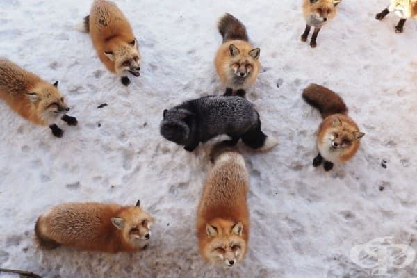 Вижте японското село на лисиците – най-пухкавото място на света