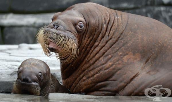 """""""Татко, защо са се вторачили в нас?"""" """"Просо ни завиждат заради мустаците, сине."""""""