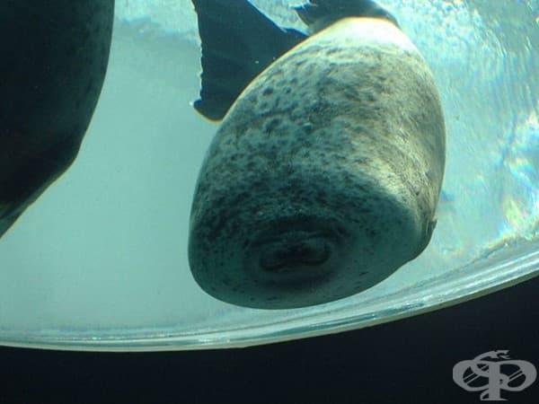 Тюлен, попаднал случайно на стъклената преграда