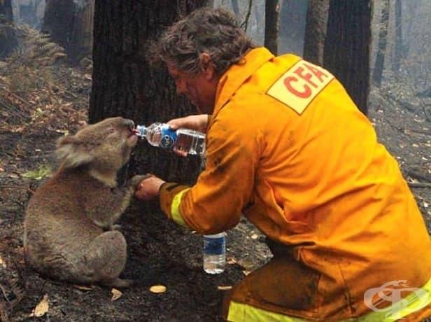 Пожарникар дава вода на коала след пожара, причинен от сушата в Австралия през 2009 година.