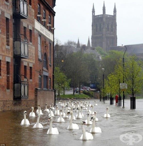 Лебеди плават по улиците на град във Великобритания след наводненията.