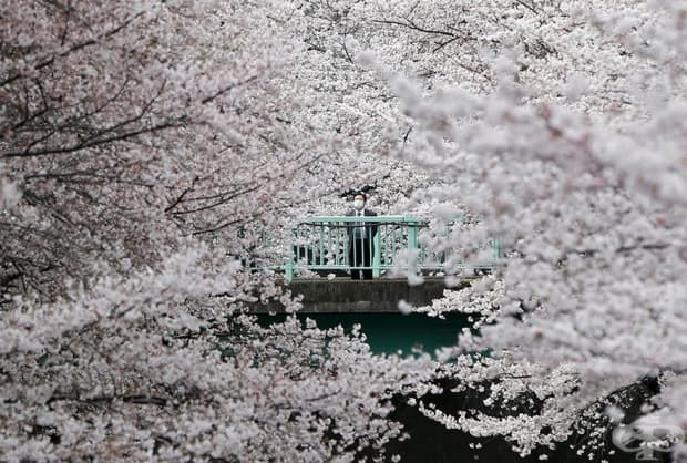 Бизнесмен наблюдава черешова градина в Токио, Япония.