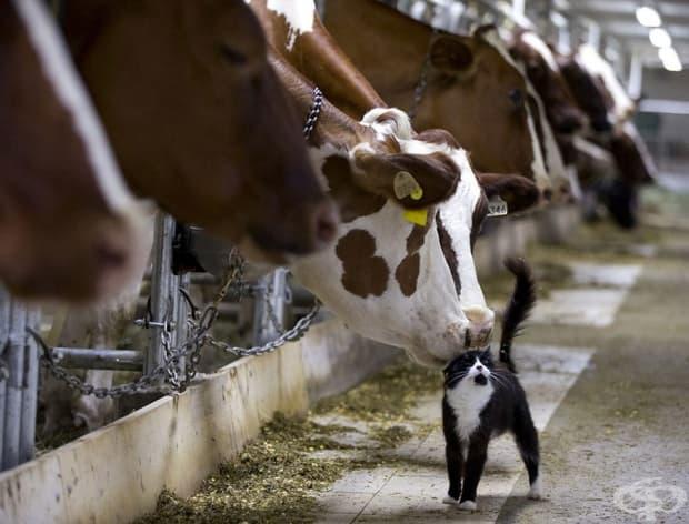 Крави целуват котка, докато чакат да бъдат издоени във ферма в Гранби, Квебек, Канада.