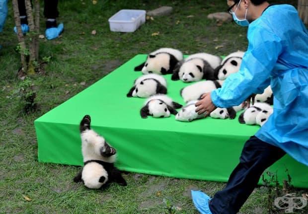 Бебе панда пада от сцената, на която са струпани още 23 пандички, родени през 2016 г. в провинция Сичуан, Китай.