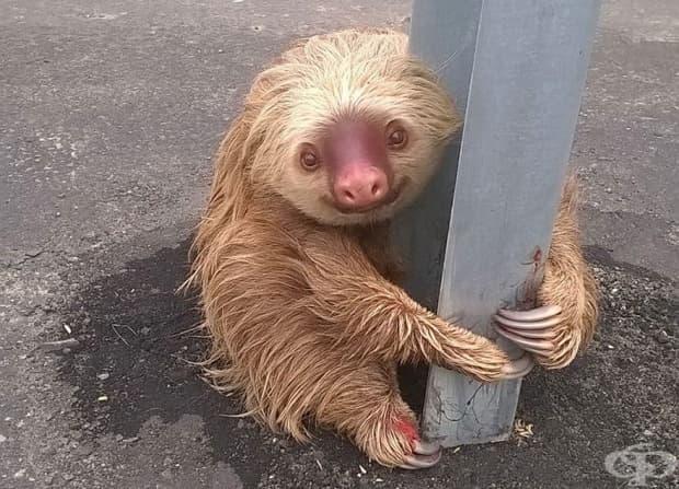 Ленивец се държи за стълба на пътен знак на магистрала в Еквадор. Пътни полицаи открили ленивеца, който очевидно се опитвал да пресече пътя. Те извикали ветеринар, който проверил състоянието му и го върнал в естествената му среда.