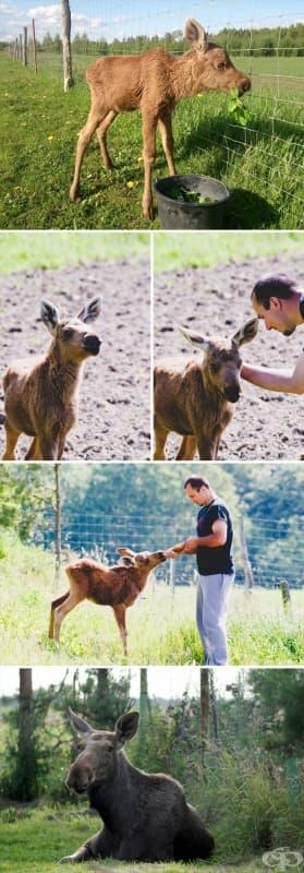 Един човек спасява бебе лос, след което то го посещава всеки ден, за да го види и да си поиграят.