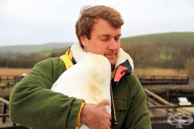 Лебед прегръща човека, който го спасява.