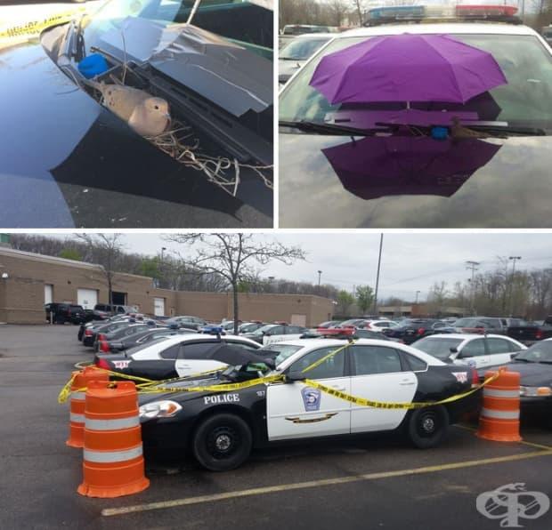 Гугудка си прави гнездо върху полицейска кола, а полицаите прикрепят чадър, за да я опазят от прищевките на времето. Те също така ограждат паркомястото с полицейска лента, за да не я безпокои никой.