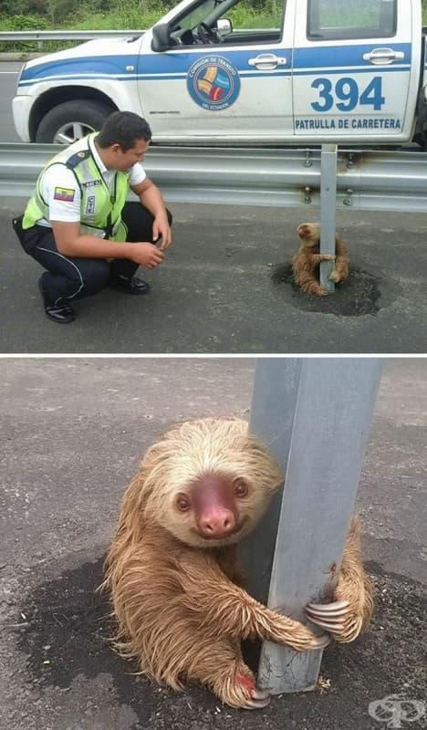 Полицай спасява малък ленивец на магистрала в Еквадор.