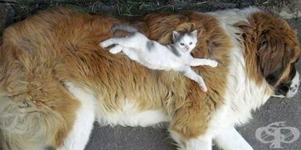 Това мъничко котенце е като бълха за големия санбернар.