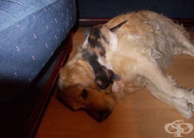 """Как една котка си подрежда приоритетите: ако трябва да избира между кучето и дивана, явно """"печели"""" кучето."""