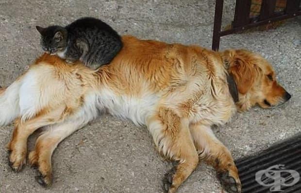 Тази котка усеща, че ретривърът има проблем с дясната тазобедрена става.