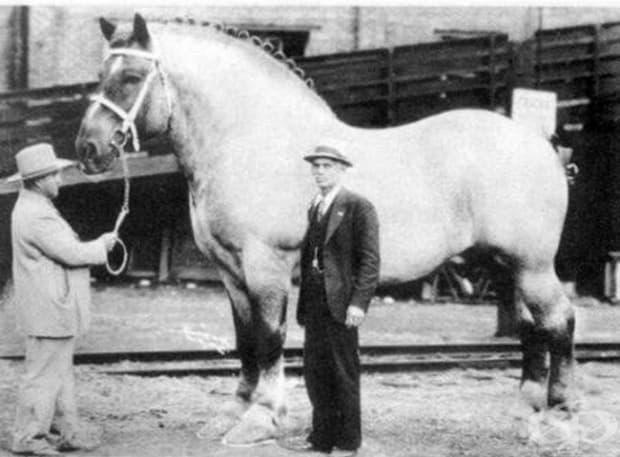 Най-големият кон в света, 1928 г.