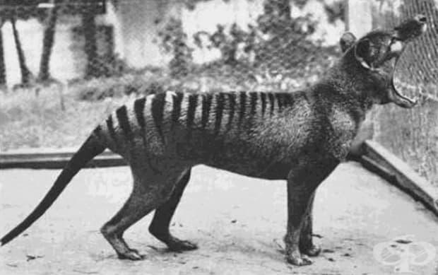 Последната снимка на тасманийски вълк, 1933 г. Видът вече не съществува.