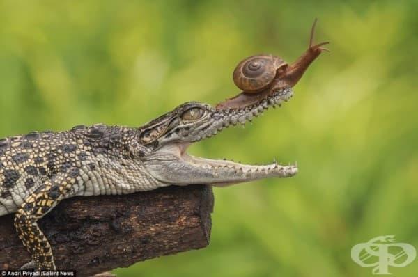 Как този алигатор не е забелязал охлюва, докато му се катери по гърба?