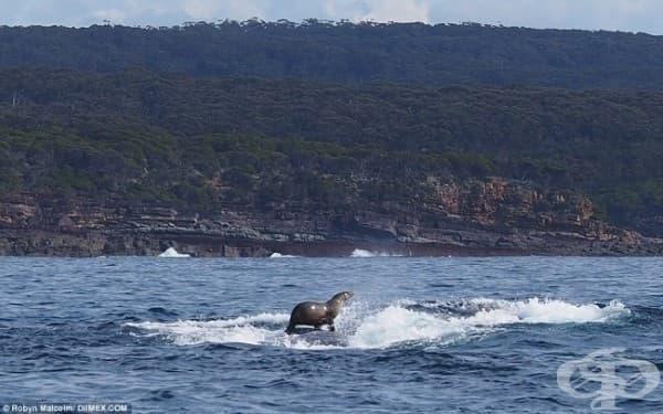 Това е най-готиния тюлен на света! Той използва кита като сърф.