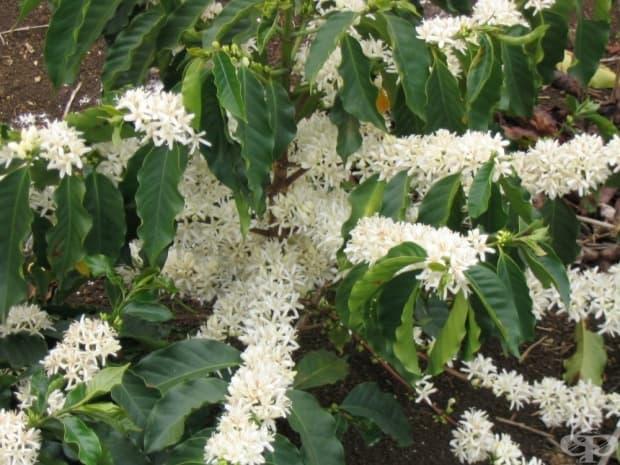 Кафе при цъфтежа на растението