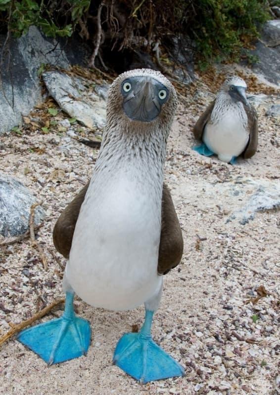 Тези тюркоазени крака не може да не ви привлекат вниманието. Между другото, тези птици имат много забавни любовни ритуали.