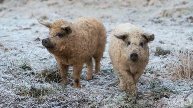 Мангалица – прасе с вълна