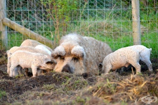 Това космато прасе е открито в средата на 19 век. Срам и позор, че не се е превърнало в домашен любимец, подобно на котките и кучетата!