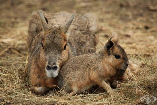 Нещо средно между кенгуру и заек?