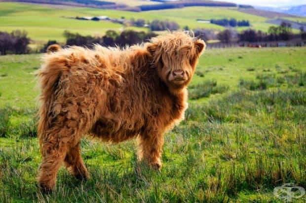Пухкава крава