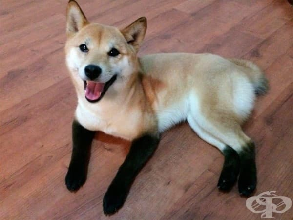 Шиба Ину с чорапки