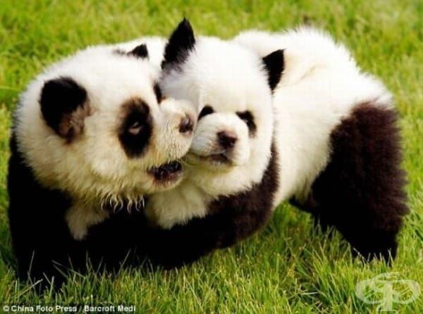 Домашни панди