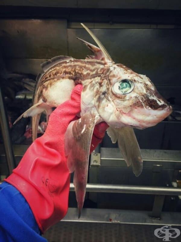 Риба химера