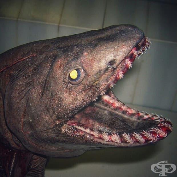 Един от най-древните видове риби: мантиева акула.