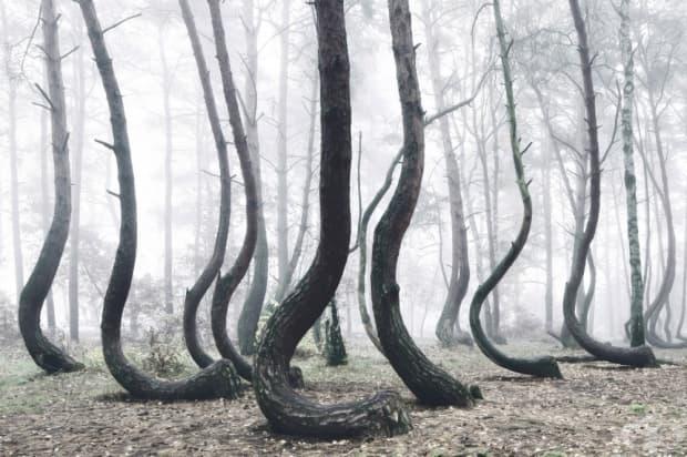 Кривата гора, Полша