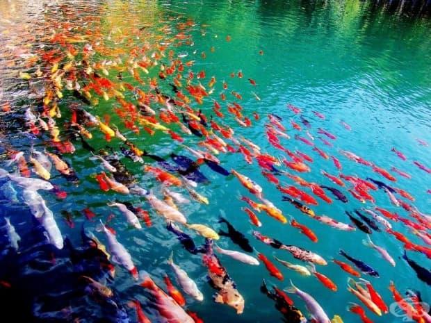 Шарени златни рибки Кой, Юнан