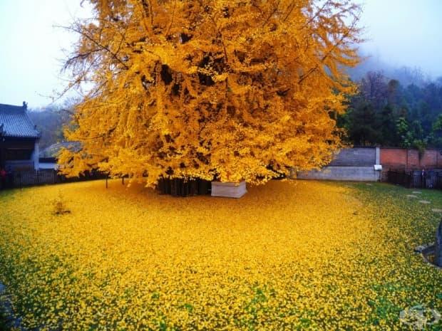 1400-годишно дърво гинко билоба, Китай