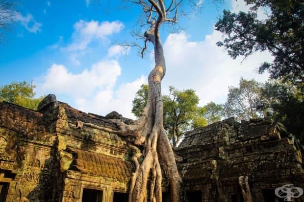Дървото расте на покрива на храм в Камбоджа
