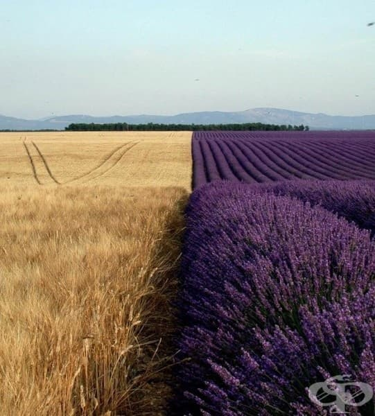 Пшеница и лавандула