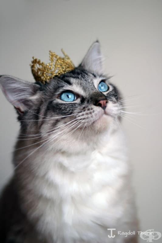 Запознайте се с Торин, котката с най-дългия език