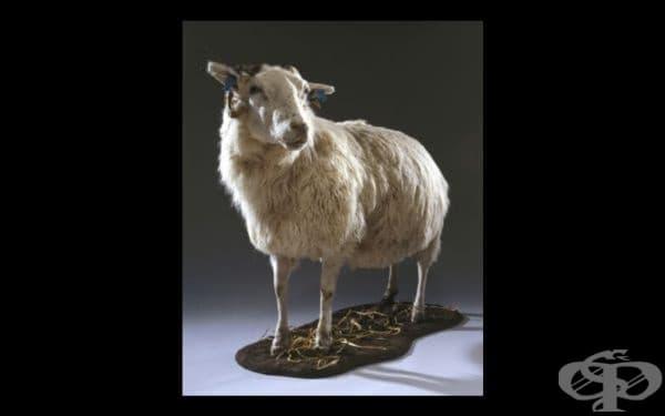 Трейси – трансгенната овца от далечна Шотландия