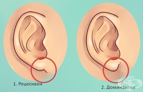 Рецесивни или доминантни гени. Според едно проучване, слетите лобовете (свързани директно към страната на главата) се считат за рецесивни. Свободните ушни лобове (тези, които висят от точката на свързване) са доминираща черта.