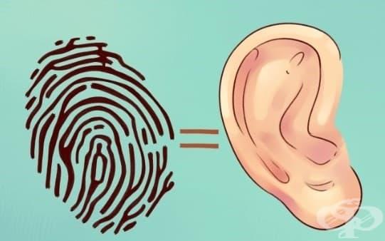 Те могат да служат за идентификация. Любопитното е, че когато се родим, ушите ни са напълно оформени. Те не се променят, докато растем, въпреки че лобът се снижава малко. Това ги прави чудесен способ за идентифициране, точно както пръстовия ни отпечатък.
