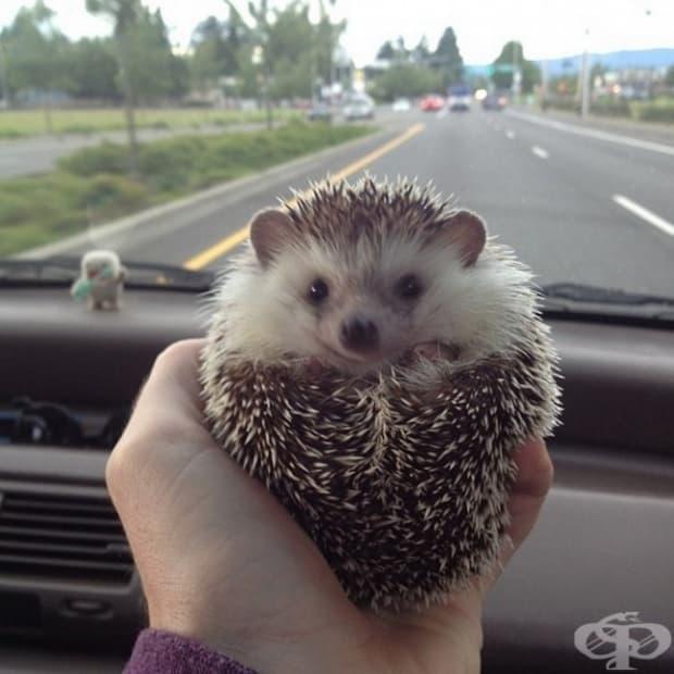 А този таралеж обожава да се вози.