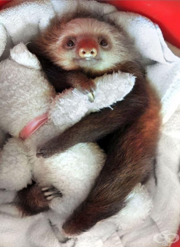 Кой би си помислил, че ленивците обичат плюшени играчки толкова много?