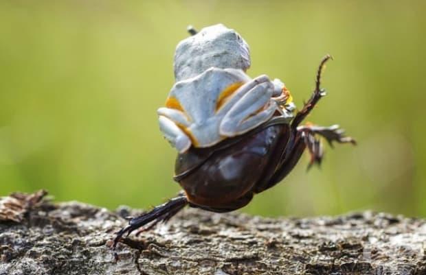 Шампионът в родеото с бръмбари!