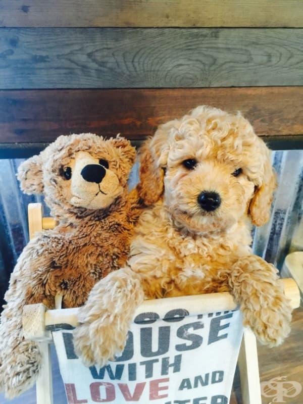 Трудно би могло да не се впечатлите от това кученце, което прилича досущ на плюшена играчка…