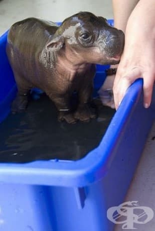Чаровно бебе хипопотамче.
