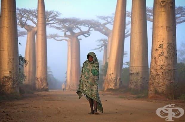 Момиче и баобаби в Мадагаскар.