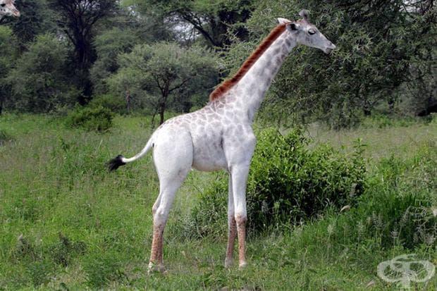 Рядък бял жираф е забелязан в Танзания!