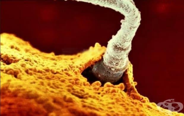 Един от 200-та милиона сперматозоиди на бащата прониква през мембрана на яйцеклетка.